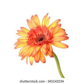 Single orange gerbera flower isolated on white background