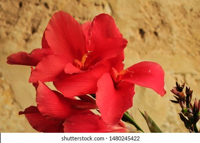 Single orange red Canna lilly with three flower spikes in soft glowing light. Red Canna lilly flowering, with pink red large petals, lighting from a tungsten outdoor light.