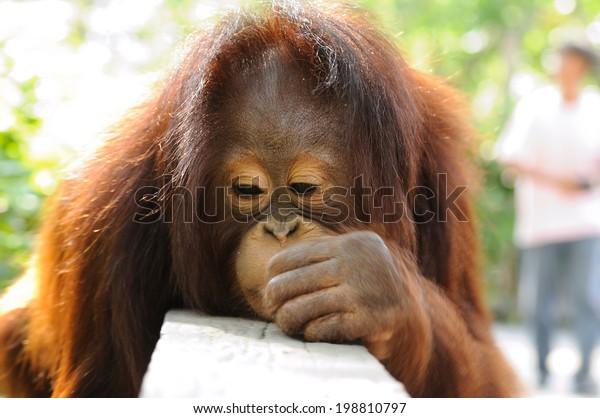 Single orangutan hanging on wood fence.