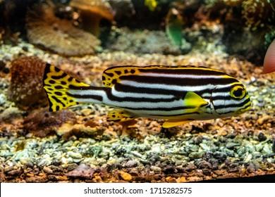 Single Oriental sweetlips fish - latin Plectorhinchus vittatus - natively inhabiting Indian Ocean and Pacific in an zoological garden marine aquarium  - Shutterstock ID 1715282575