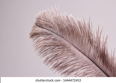 Single ostrich feather on white background.