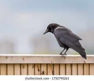 A single passerine carrion crow, Corvus corone, on a perch in the UK