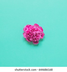 single peony flower on a blue background. minimalism and the concept of blooming in may