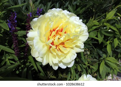 Single peony on the flower bed