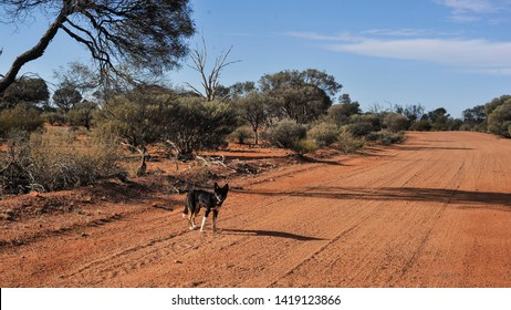 """Single photo of a """"Wild Dog"""", walking along a bush track looking for food scraps.Dingo, domesticated dog cross-breed, commonly termed """"Wild Dog"""" in the bush, Western Australia."""