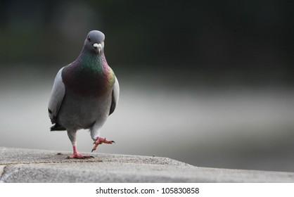 Single pigeon walking