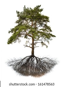 single pine with root isolated on white background