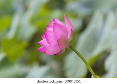 Single pink blossom lotus flower isolated on green backround
