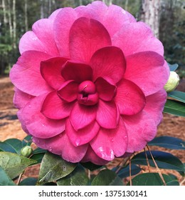 A single pink colored camellia flower in bloom. This variety is called Spring Fling. Camellia trees blossom in the autumn and winter months in the southern states of America. Focus on the foreground.