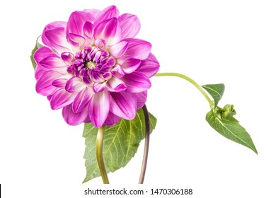 Single pink dahlia flower isolated on a white background