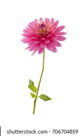 Single pink dahlia flower. Single pink dahlia flower isolated on a white background.