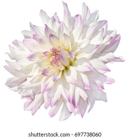single pink dahlia  isolated on a white background