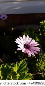Single pink daisy in garden