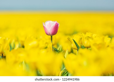 Single pink Dutch tulip growing in a yellow flower bed during Springtime, Holland. Selective soft focus technique