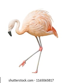 single pink flamingo isolated on white background
