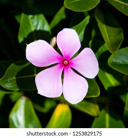 Single Pink Flower surrounded by green foliage crop to square. Catharantus roseus Vinca rosea (Periwinkle) billy goat stinkers geranium of the tropics.