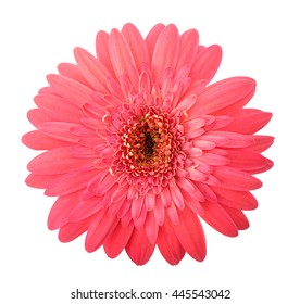 single pink gerbera isolated on white background