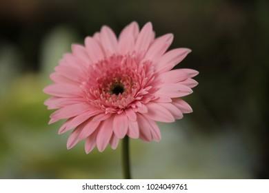 Single  pink gerbera  on  nature background