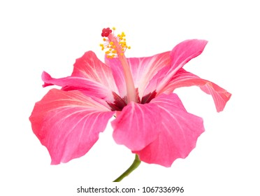single pink hibiscus flower isolated on white background