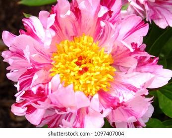 Single pink peony close up, flowering in mid season