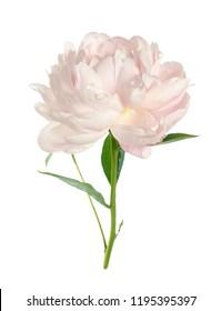 Single pink peony isolated on white