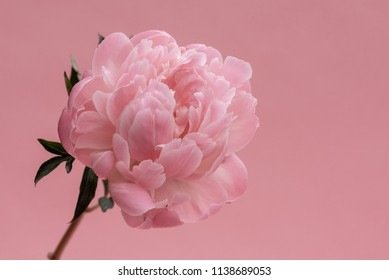 Single pink peony stem on pastel pink background.