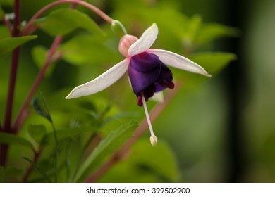 A single pink and purple Fuchsia flower