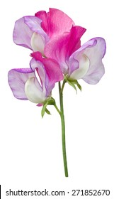 A single pink and purple sweet pea flower, Lathyrus Odoratus, with three florets, isolated on a white background.