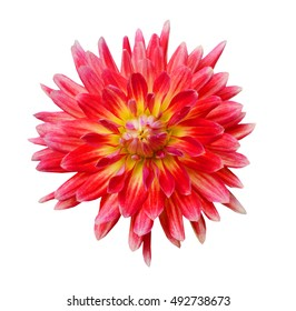Single pink with red and yellow dahlia
