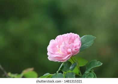 Single pink rose flower head close up
