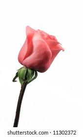 Single pink rose isolation on white