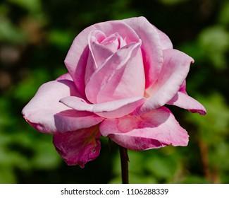 Single pink rose on green bokeh background