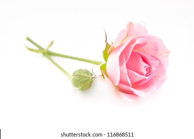 Single pink rose in vertical isolated over white background