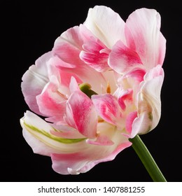 Single pink tulip with backlight on a dark background