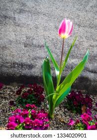 Single pink tulip flower in garden