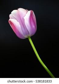 single pink tulip isolated on black background