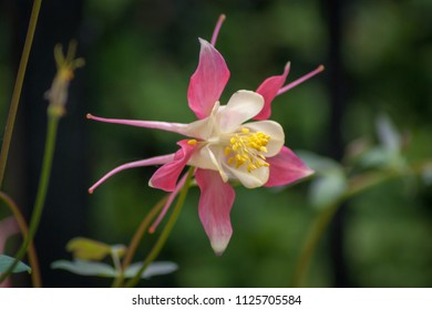 Single pink and white Aquilegia flower