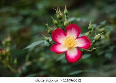 Single pink and white climbing rose flower with yellow center, dark blurred leaves background.