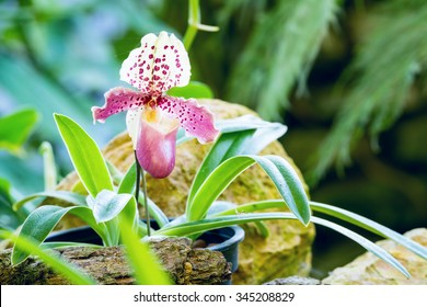 White lady slipper stock images royalty free images vectors single of pink white lady slipper orchid blossom in flower garden mightylinksfo