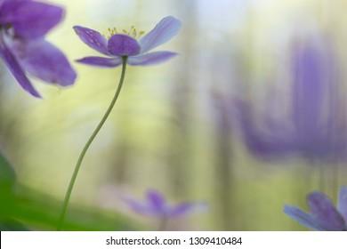 single pink wild flower in soft focus. Wood anemone wildflower.