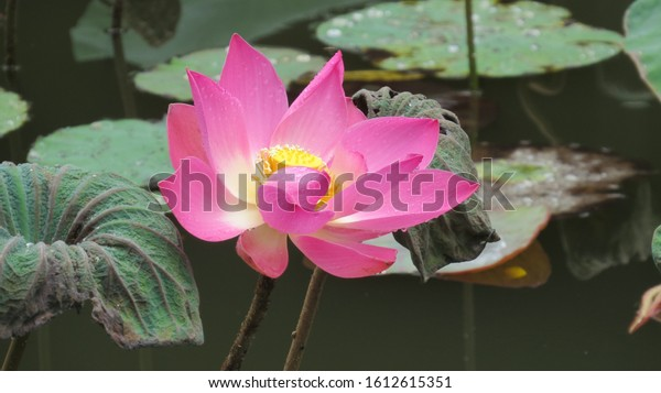 Single pink and yellow lotus flower in a pond after the rain