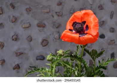 Single poppy flower growing near stone wall