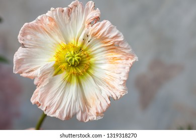 A single poppy flower head in pastel color.