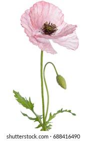 Single poppy isolated on white background.