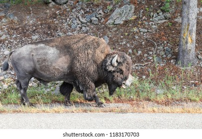 Single powerful buffalo / bison with horns walking down the asphalt highway blocking the road in Yellowstone national park, Wyoming, USA. Concept of endangered species, power, strength and fearsome