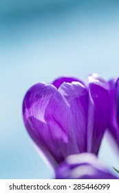 Single pretty deep purple crocus flower blooming outdoors in a green garden symbolic of the start of spring, close up side view