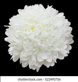 A single pure white pompom type chrysanthemum flower, a ball of incurved petals with a creamy yellow center. Isolated on black.