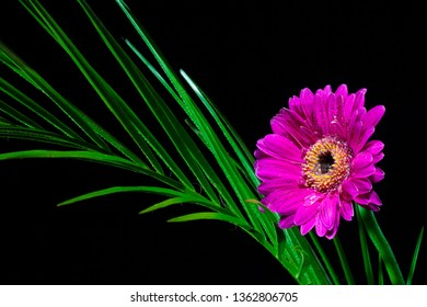 Single Purple Gerbera with a Fern Leaf - dark background