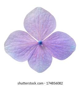 Single Purple Hydrangea Flower Isolated on White Background