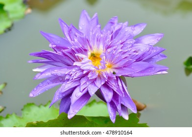 Single Purple lotus in lake